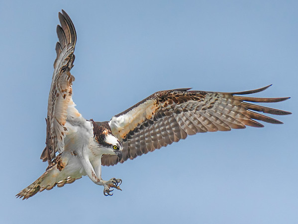 Osprey Landing 1
