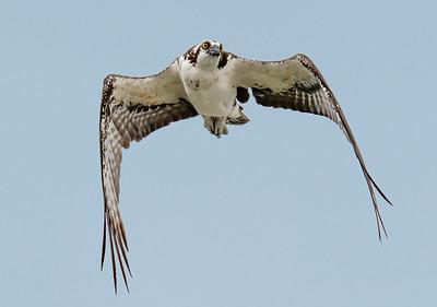 Osprey Flying 1