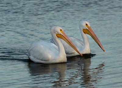 White Pelican Duo