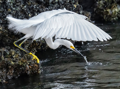 Egret Fishing 1