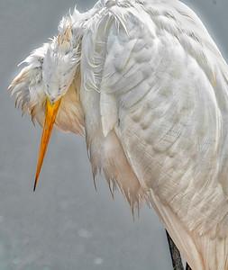 Egret Looking Down
