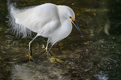 Wading Snowy Egret