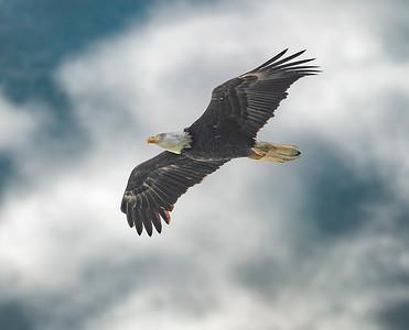 North Shore Eagle