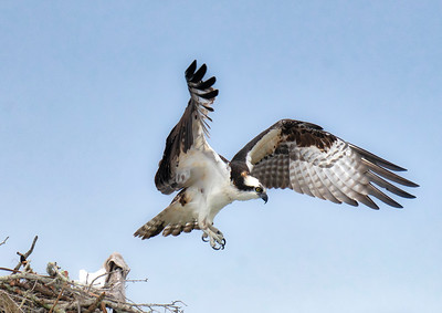 Osprey Leaving Nest