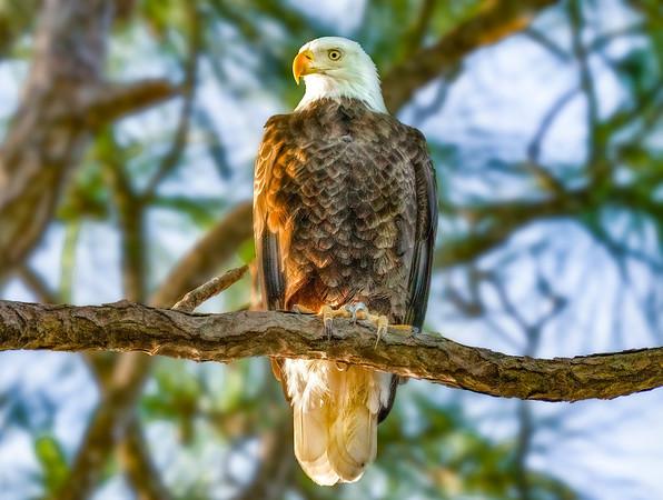 Perched Eagle 2