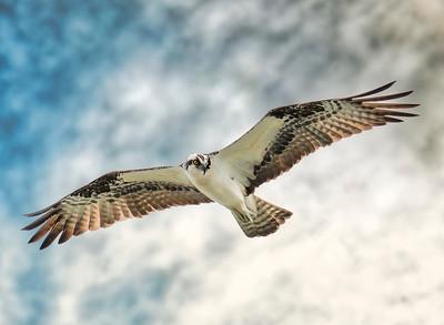 Osprey in Cloudy Sky