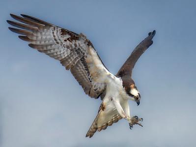 Osprey Landing 3