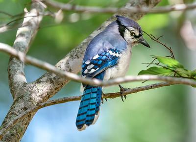 Blue Jay on Crepe Myrtle