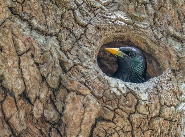 Starling in Live Oak