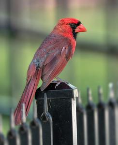 Cardinal on Post 1