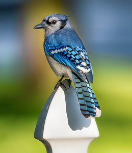 Blue Jay on Post Close Up