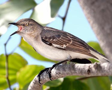 Mockingbird Singing