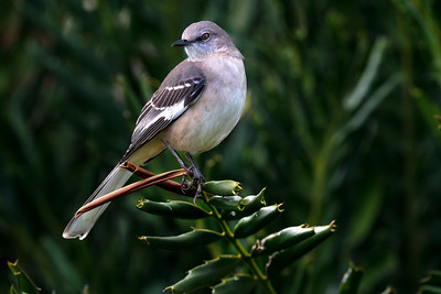 Mockingbird on Palm