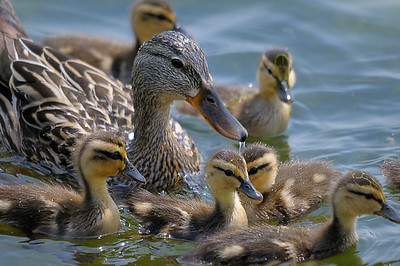 mallard, duck, with, ducklings