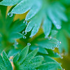 Dew on Dutchman's Breeches