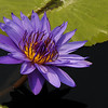 Panama Pacific Water Lilly