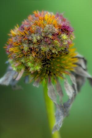 Spent Cone flower