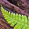 Fern on Log