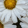 White Daisy after the rain