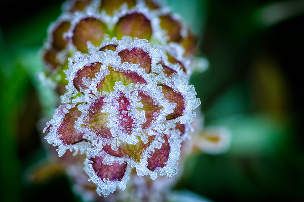Frost On Ground Ivy