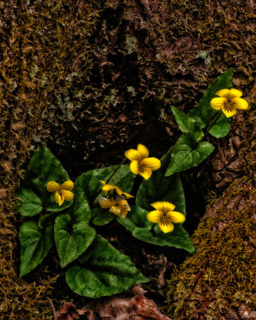 Yellow Woodland Violet in a tree knot