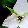 White Erect Trillium