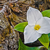White Trillium