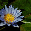 Blue Beauty Water Lilly