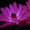 Night blooming water lilly