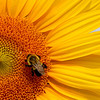 Sunflower with Honey Bee