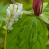 Squirrel Corn & Sessile Trillium