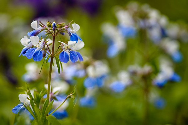 Blue Eyed Mary