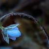 Frost on Hepatica