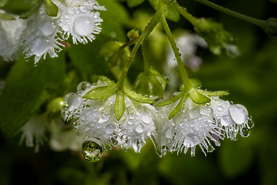 White Fringed Phacelia