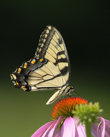 Beautiful Eastern Tiger Swallowtail on Purple Cone Flower