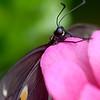 Beautiful Black Swallowtail