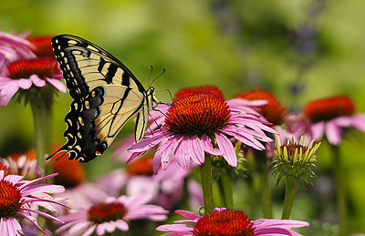 Eastern Tiger Swallowtail on Purple Cone Flower