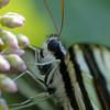 Zebra Swallowtail on milkweed