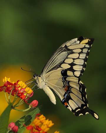 Beautiful Giant Swallowtail on Milkweed