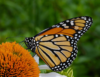 Monarch Butterfly on cone flowe
