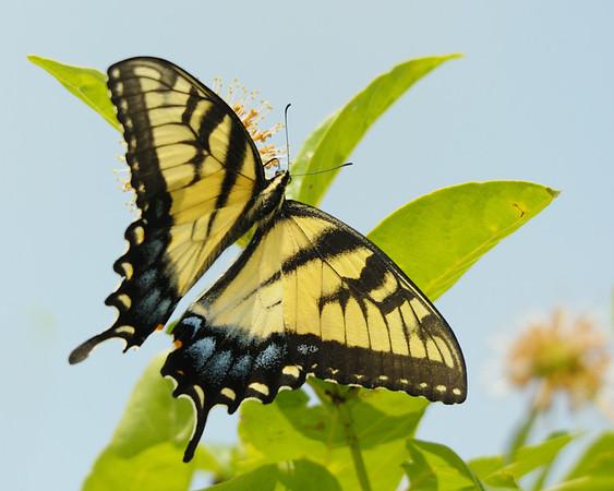 Beautiful Eastern Tiger Swallowtail