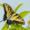 Beautiful Eastern Tiger Swallowtail