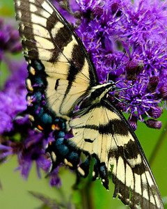Eastern Yellow Sallowtail on purple flower