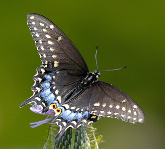 Beautiful Black Swallowtail on Purple Thistle