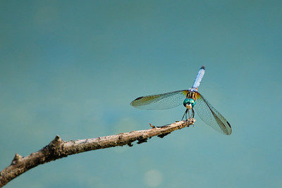 Dragon Fly on a stick
