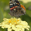 Beautiful Red Admiral on a yellow flower