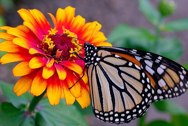 Monarch Butterfly on zenia