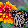 Monarch Butterfly on zenia