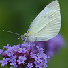 Cabbage White on a purple flower