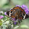 Beautiful Common Buckeye on Purple Butterfly Bush